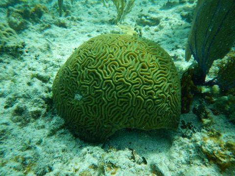 Coral in the Cayo Santa Maria